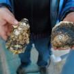1500 tonnes d'huîtres sont produites chaque année sur la lagune de Bizerte.